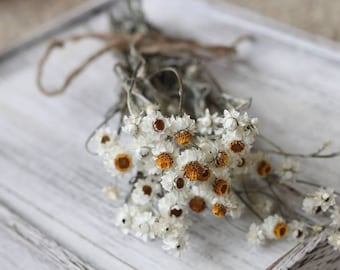 Bunch of 10 Stems of Dried Ammobium, Winged Everlasting, White Flower, Wedding Flower, Corsage Flower