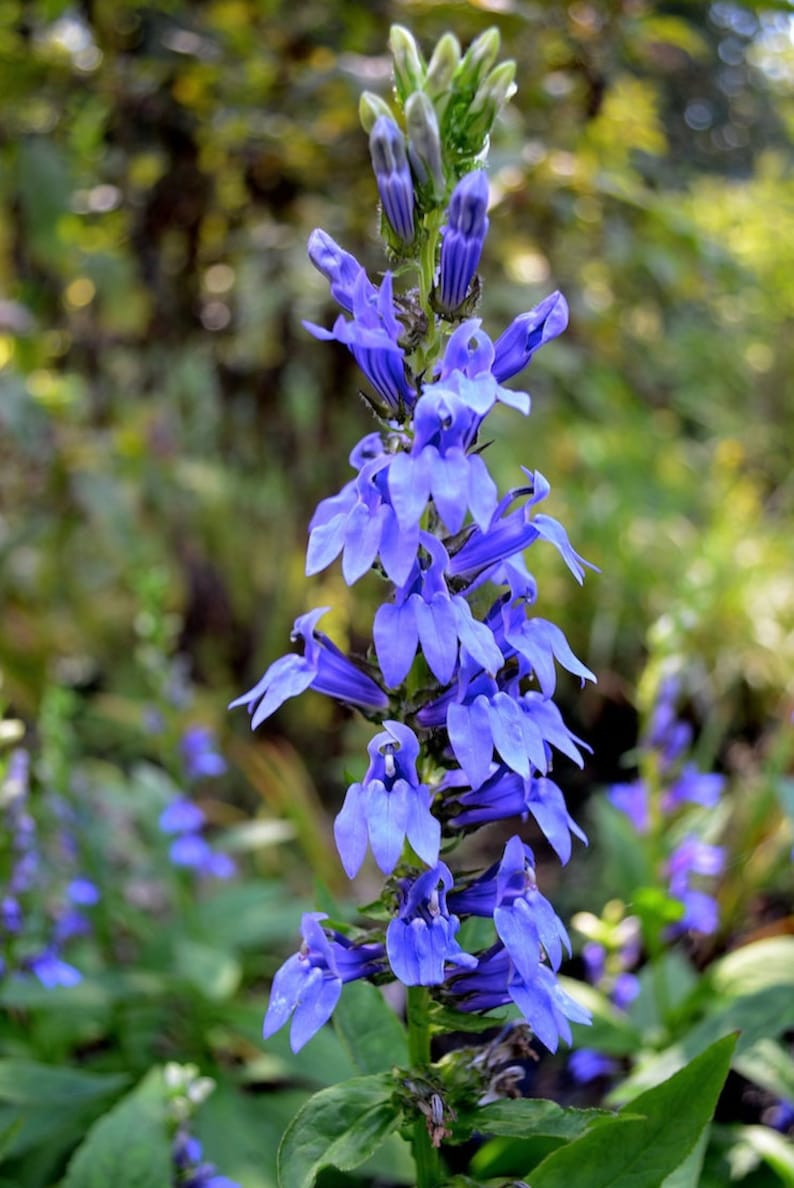 Great Blue Lobelia 200 Seeds Heirloom Etsy