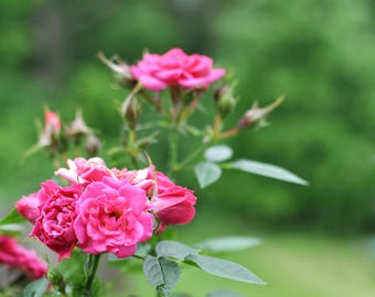Pink Rose Plant Green Nature Digital Photo Download Printable Photography