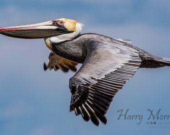Brown Pelican Surfing The Wind