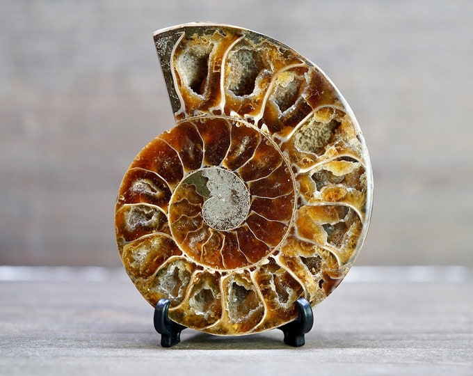 "3.3"" Ammonite Fossil w/ Stand"