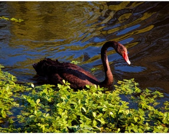 The Black Swan - original painterly photograph