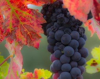 Fall Grapes - Photo on Metal