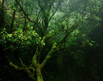 Old Tree Photo | Mist Fog | Fine Art Photography | polychromatophil | green moss lichen | enchanted mystic mysterious | calming
