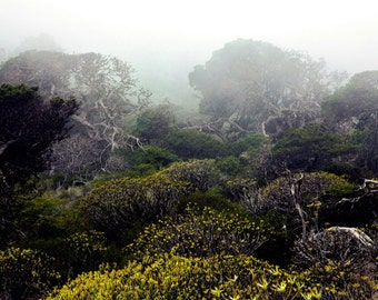Juniper Tree | Forest | Green Yellow | Mist Fog | Fine Art Photography | Photo | polychromatophil | Canary Islands | Mystic Calming Macchia