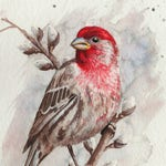 50% OFF SALE Watercolor House Finch 5x7 postcard print