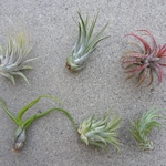3,5,10 small, med, lrg Air Plant Variety Pack, Succulent Air Plant Terrarium Plants Wholesale Air Plants Wedding Favors, Tillandsia Airplant