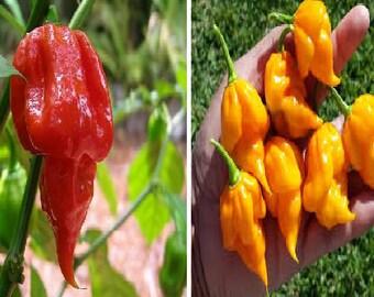 Hot chilli pepper | Etsy