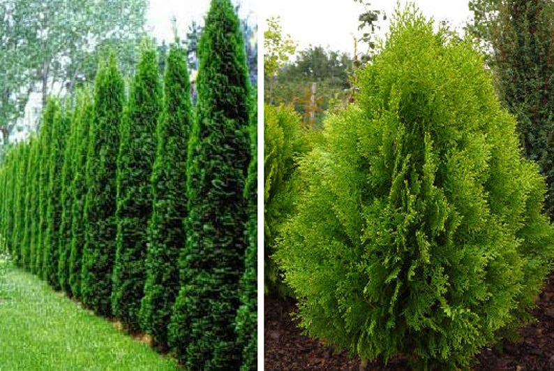 Etwas Neues genug Thuja occidentalis 30 SEEDS or Thuja orientalis 30 SEEDS | Etsy #LJ_76