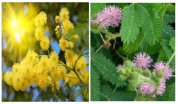 Yellow Mimosa Acacia Dealbata 15 Seeds Or Mimosa Etsy