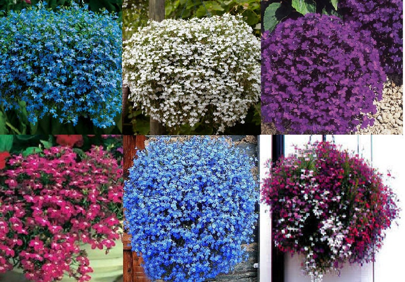 Trailing Lobelia Seeds 6 Colours Etsy