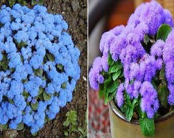Ageratum BLUE (4000 seeds) or PURPLE (800 seeds)