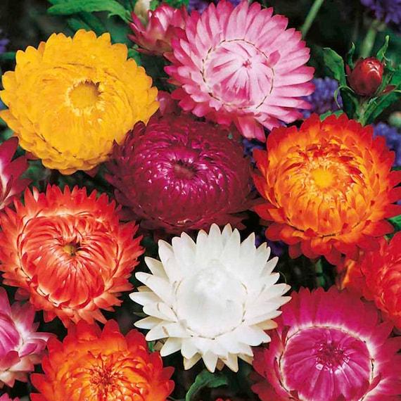 Helichrysum Seeds 250 Seeds Strawflower Seeds King Red
