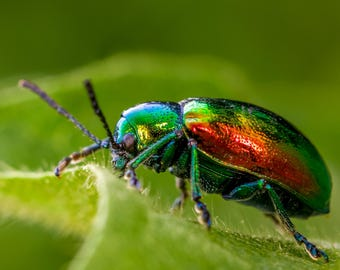 Digital Download: Dogbane Leaf Beetle photo