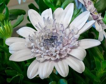 Daisy Bloomed