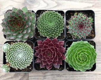 Succulent Plants - Sempervivum Collection