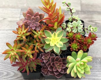 Succulent Plants - Harvest Collection