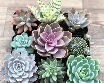 Succulent Plants - Pastel Collection