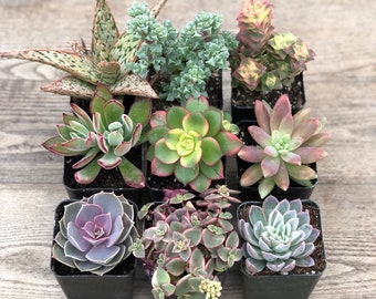 Succulent Plants - Pink Collection
