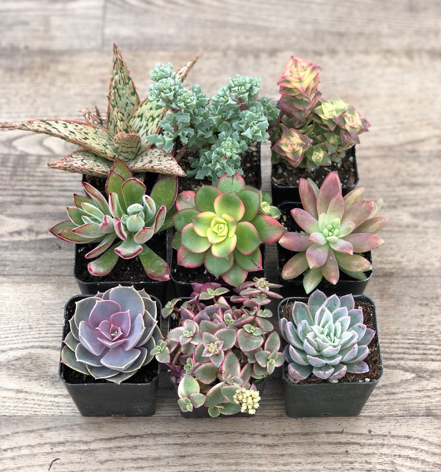 Succulent Plants Pink Collection Etsy