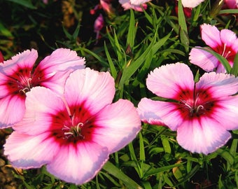 Dianthus Pretty in Pink Petite Flower Annual Heirloom 100+ Seeds #1193