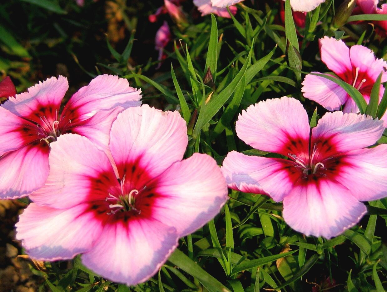 Dianthus Pretty In Pink Petite Flower Annual Heirloom 100 Etsy