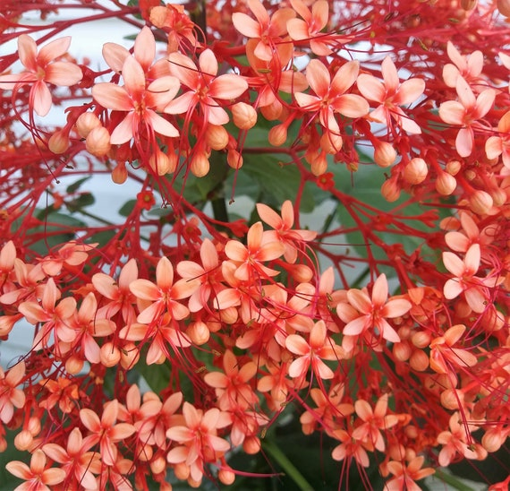 Clerodendrum paniculatum pagoda flower tropical perennial etsy image 0 mightylinksfo
