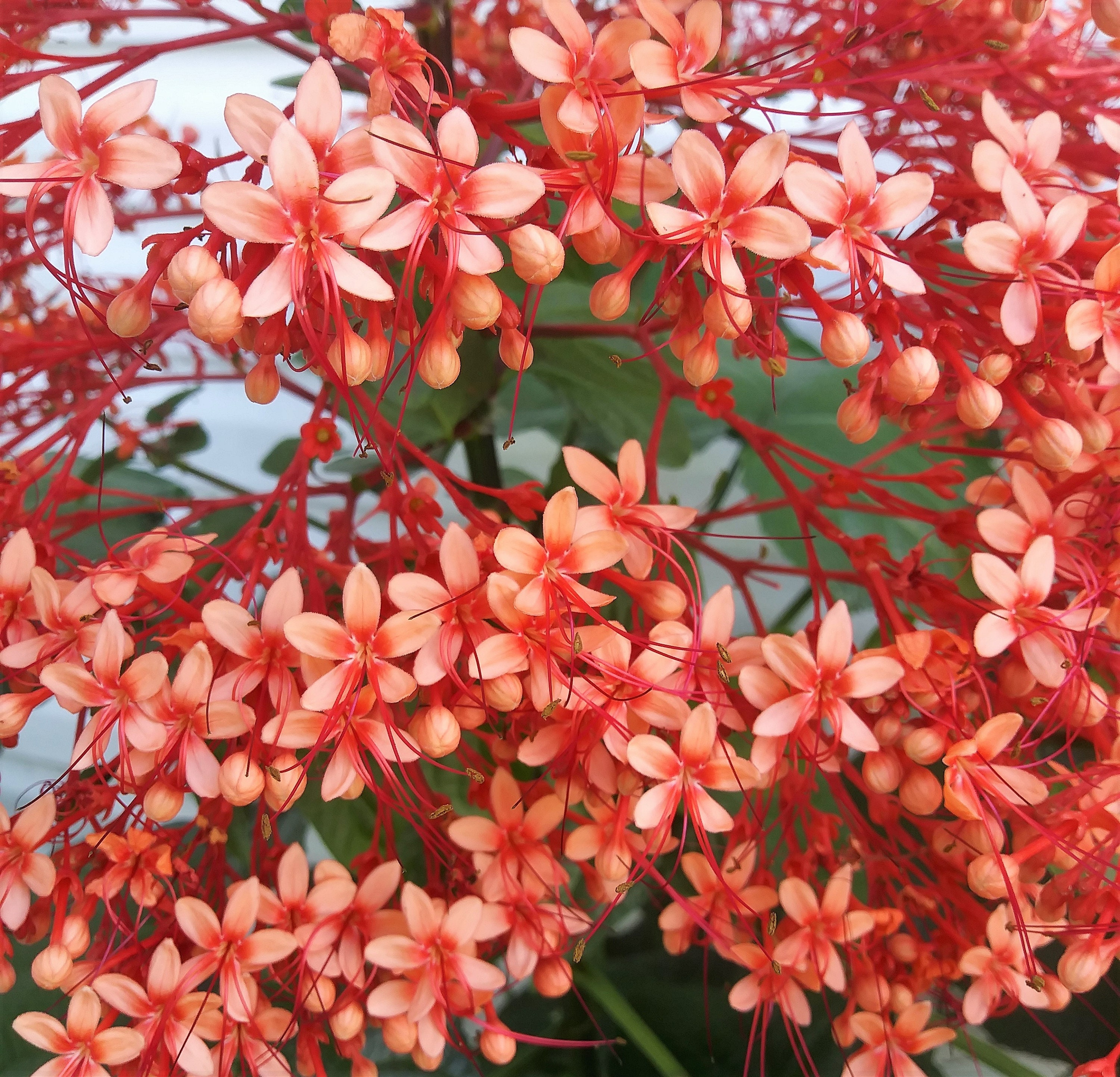 Clerodendrum Paniculatum Pagoda Flower Tropical Perennial Etsy