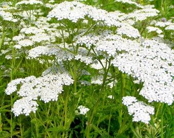 Achillea millefolium Yarrow Flower Plant White 500 seeds Drought Tolerant Medicinal Herb #1159