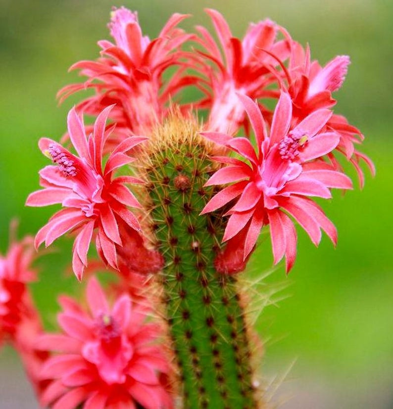Amazing Cactus 10 Seeds Bolivicereus Cleistocactus Samaipatanus Very Rare