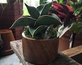 Sansevieria Dwarf Samurai in Wooden Pot with Crystal Sansevieria ehrenbergii Rare Succulent Cactus Snake Plant Houseplant