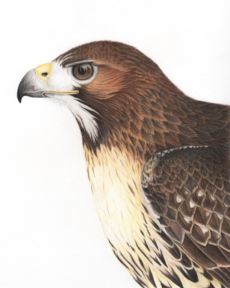 Print red tailed hawk art drawing colored pencil bird birds bird of prey  falconry ornithology