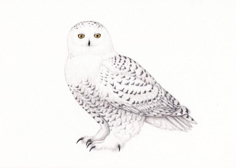 Snowy owl art drawing , owl decor, owl drawing, snowy owl drawing, colored  pencil, owl artwork print and original 5x7