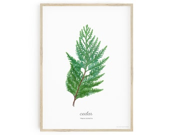 Printable Botanical Art, Western Red Cedar Wall Art, Thuja plicata, labelled with common and scientific name