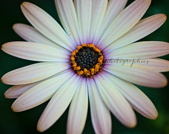 Gazania - cream gazania - flower - Fine Art photographic Print