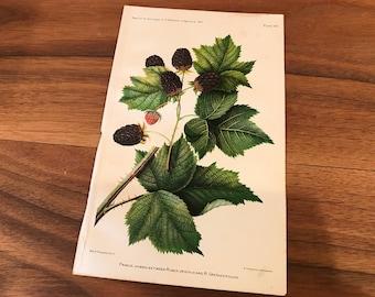 Antique Original Fruit Lithograph  1892, Primus Hydrid 9x6 inches, Botanical Print