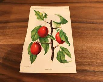 Antique Original Fruit Lithograph  1892, Sophie Plum 9x6 inches, Botanical Print