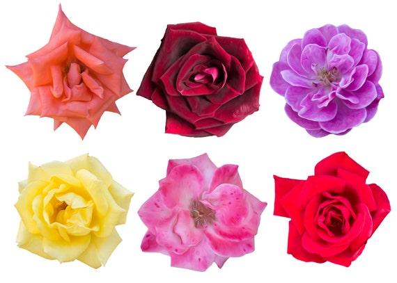 6 Aceite Pintado Rosas Png Clip Art Aislado En Transparente Etsy