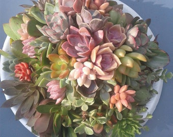 Ships Free!! Assorted Succulent Cuttings Free Plants with every order!