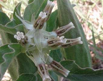 Longhorn Milkweed Seeds/Asclepias oenotheroides AKA Zizotes milkweed / Monarch Butterfly Host Plant
