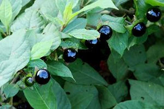 Deadly Nightshade 50 Atropa Belladonna Seeds