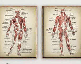 Anatomy Print SET of 2, Anatomical Poster, Muscular System Chart, Medical Print, Anatomy Chart, Antique Anatomy