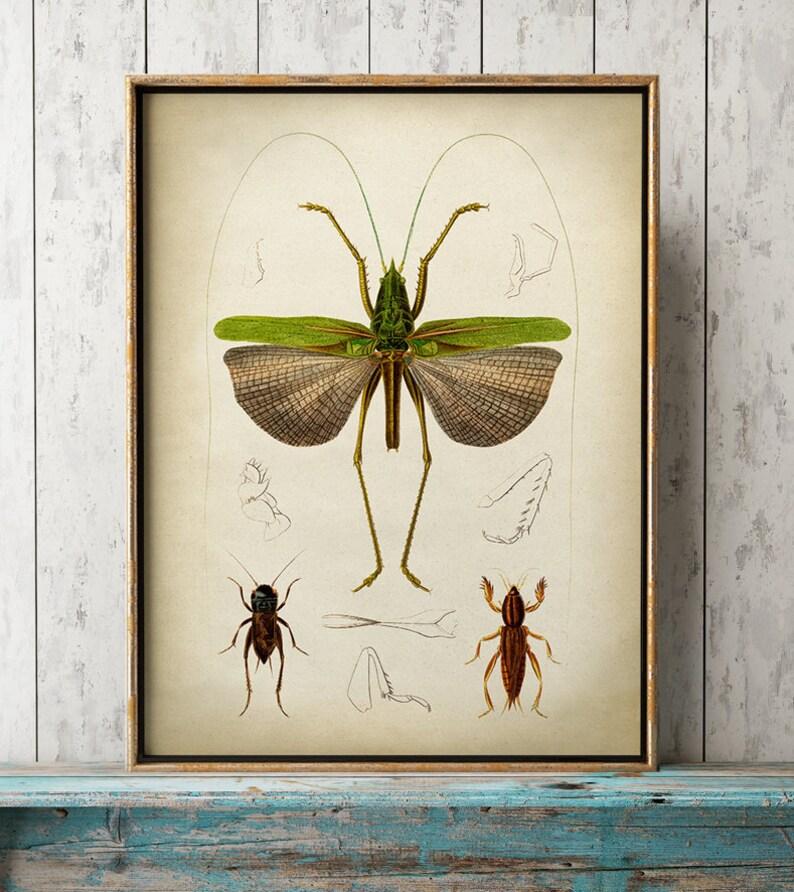 AfficheSauterelle Décoration Y Insecte MuraleTableau Vintage Verte ImprimerPapillons ScientifiqueArt OkPiTXZu