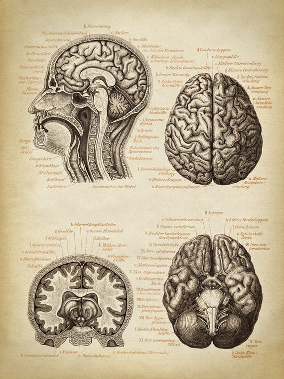 Brain Anatomy Poster Brain Chart Scientific Illustration Etsy