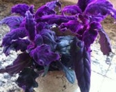 Purple passion plants rare houseplants Gynura aurantiaca purple velvet plants houseplant purple leaves rare houeplants