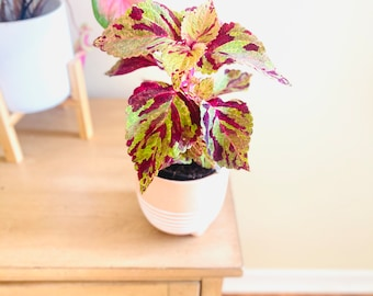 rooted VERY RARE color plant pink houseplant exotic plant fall color plant