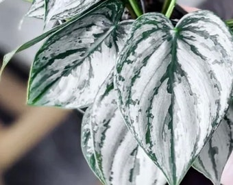 Philodendron Brandi rare silver house plant philodendron live plant rare houseplants houseplants collection Christmas gift
