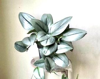 rare plant Scindapsus treubii Moonlight rare plant rare houseplants hanging houseplants Air  plants plant collection 2021