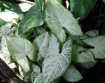 Syngonium podophyllum Syngonium  angustatum Arrowhead Leaf