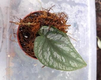 Monstera Dubia fresh cutting live plant